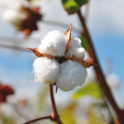 Cómo se hace un par de jeans: el algodón (parte 1 de 6)
